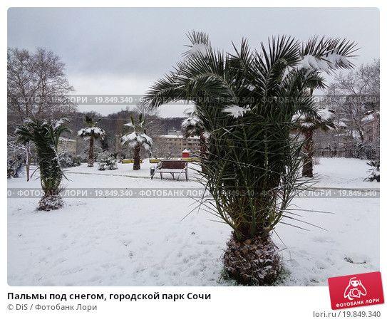 Купить фото «Пальмы под снегом, городской парк Сочи» © DiS ...