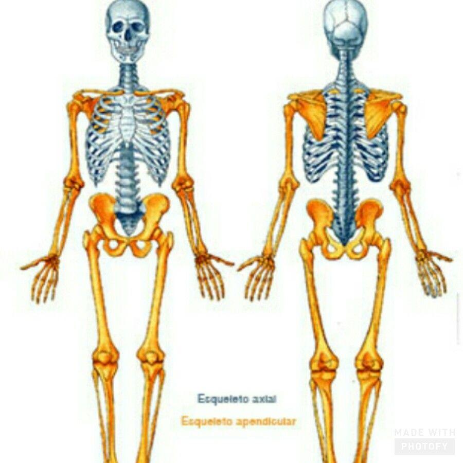 Esqueleto axial y apendicular | anatomía | Pinterest | Esqueleto ...
