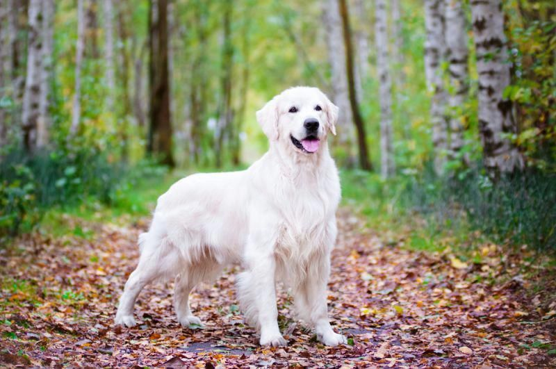 25 Reasons Why Golden Retrievers Are Superior Dogs Posted On November 5 2015 By Jackie Lam Petbreeds Looked Into Englische Golden Retriever Hunderassen Hunde