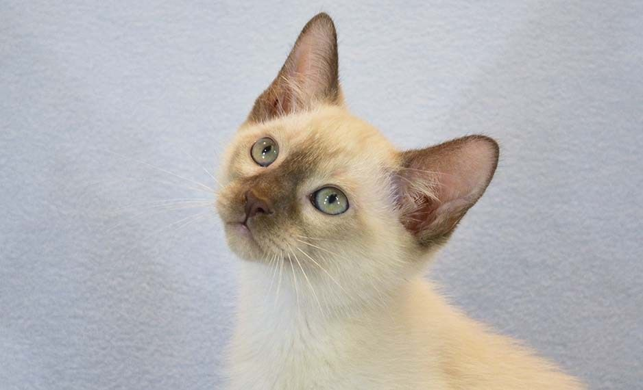 Image is not available Kittens, Tonkinese cat, Siamese