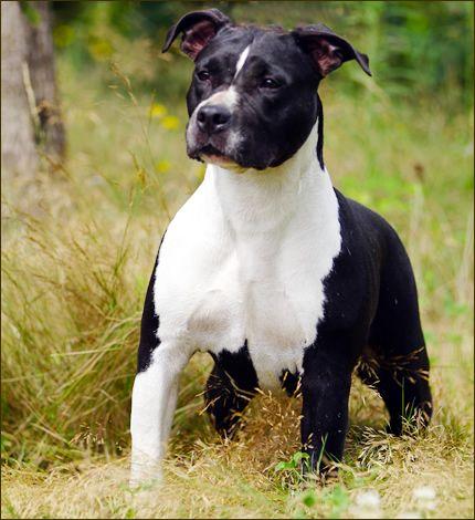 American Staffordshire Terrier Amstaff 31 Dog Heaven Pitbull Puppies Beautiful Dogs