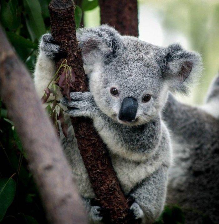 Les Meilleures Photos Et Videos De Bebe Koala Photos Bebe
