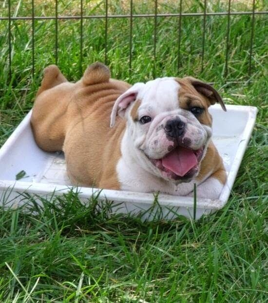 Top 5 Amazing Bulldog Puppies Adorable Dogs And Puppies