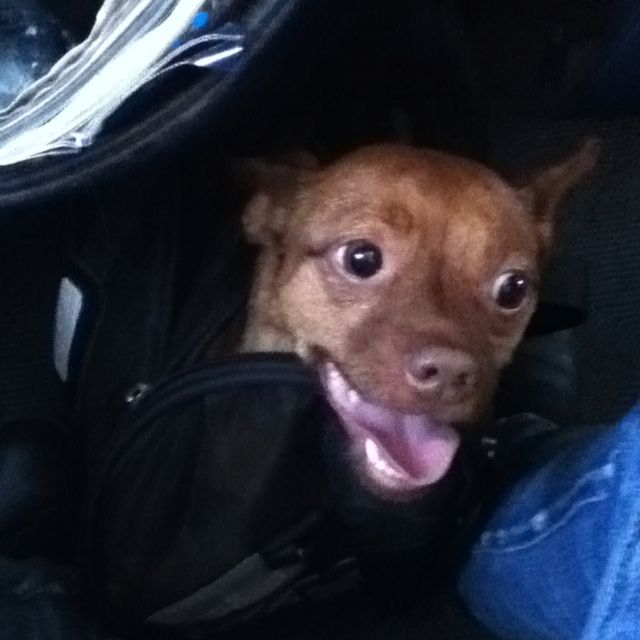 Dog in a bag on a plane