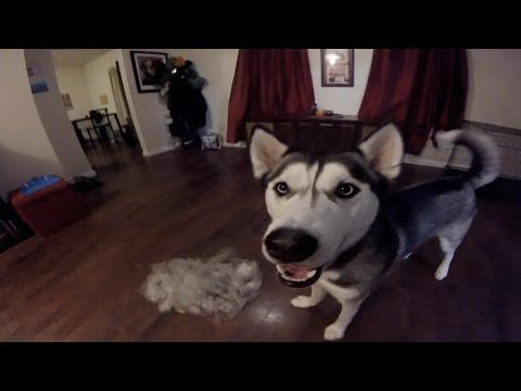 Huskies Shed A Lot Sunday Short Siberian Huskies Husky