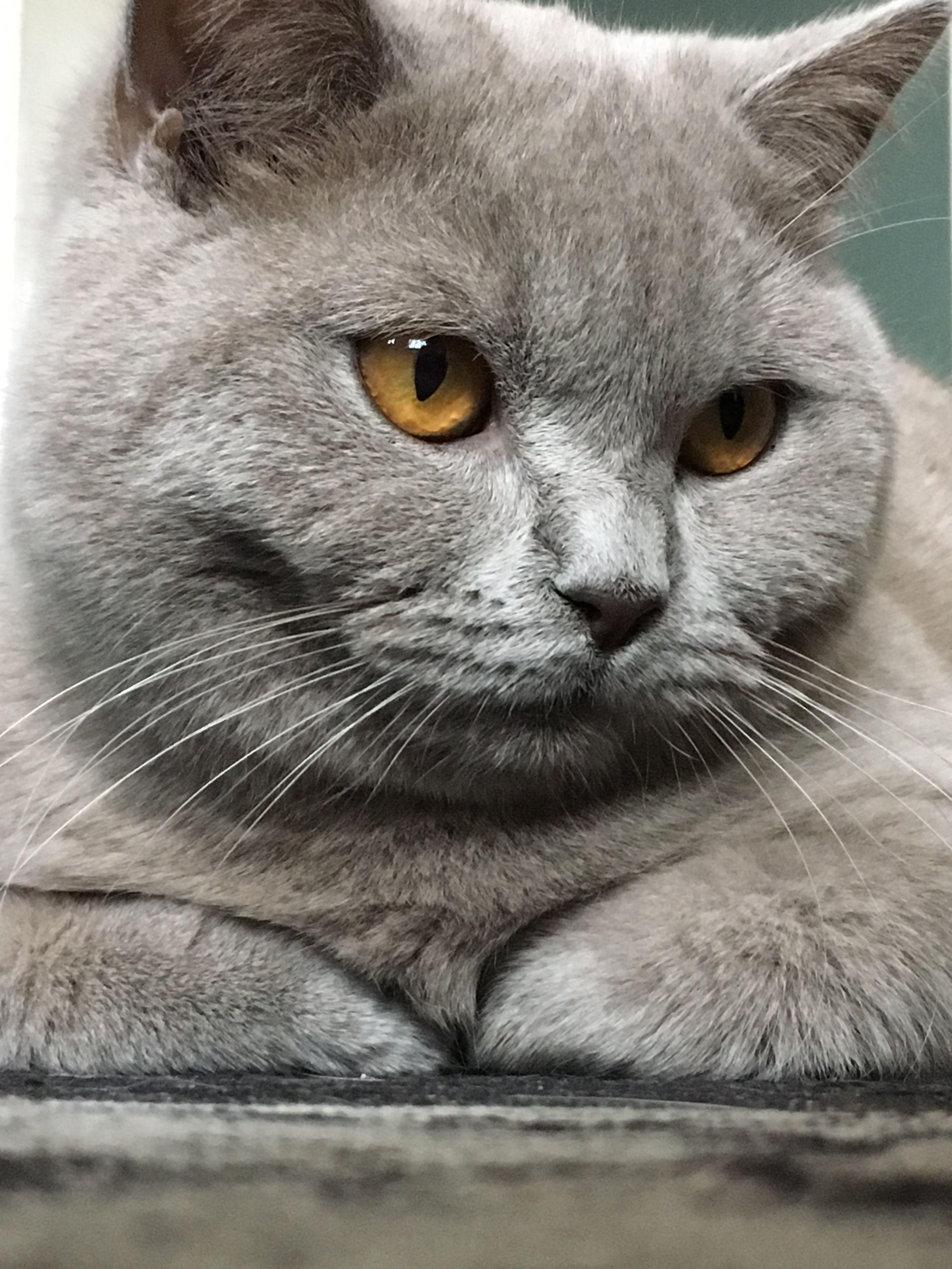 Gray Kitten 2monthsold Small Cute Fluffy Tuxedo Tabby Feline Cat Girl Frisk Feisty Beautiful Eyes Blue Green White Lo Grey Kitten Feline Paw