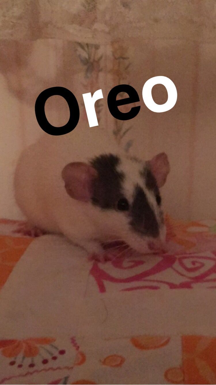Rats make the sweetest pets!