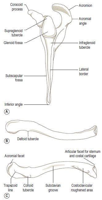 Left Scapula Anatomy Diagram - Block And Schematic Diagrams •
