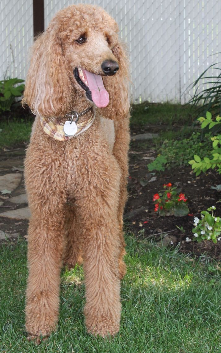 Phoenix My Beautiful Red Standard Poodle Standard Poodle Dogs