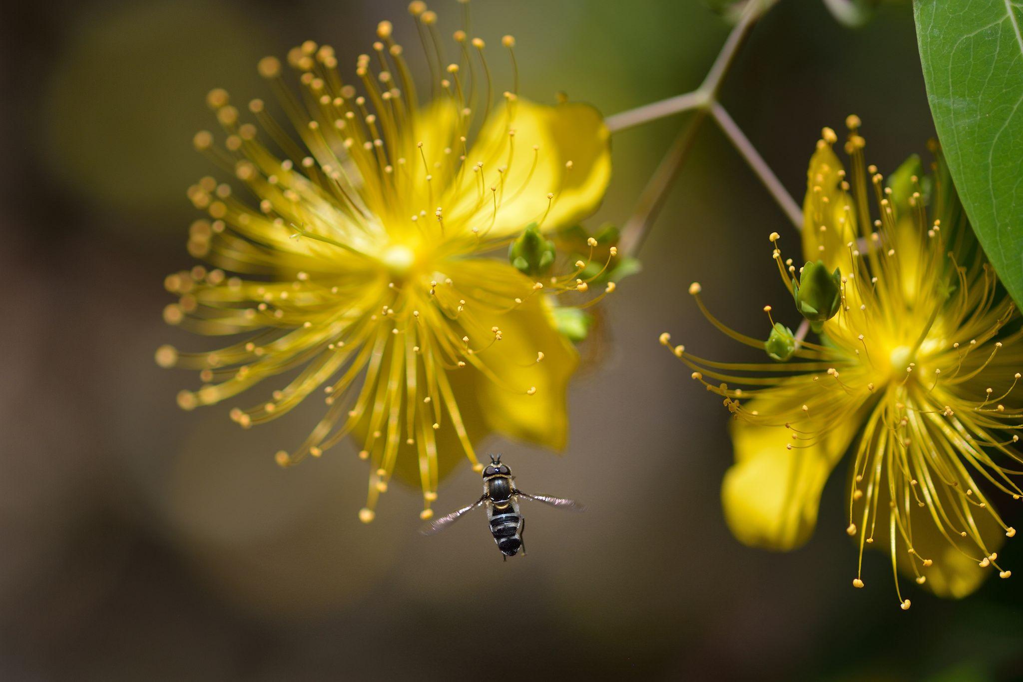 https://flic.kr/p/H1QRFU   ビヨウヤナギとクロヒラタアブ   ビヨウヤナギ(美容柳)        in my garden 学名 Hypericum monogynum  クロヒラタアブ Betasyrphus serarius