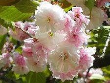A beginners guide to cherry blossom viewing cherry tree varieties a beginners guide to cherry blossom viewing cherry tree varieties mightylinksfo Images