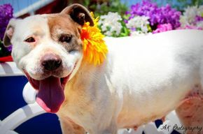 Adopt Spottie On Animals Pitbull Terrier Pitbull Facts
