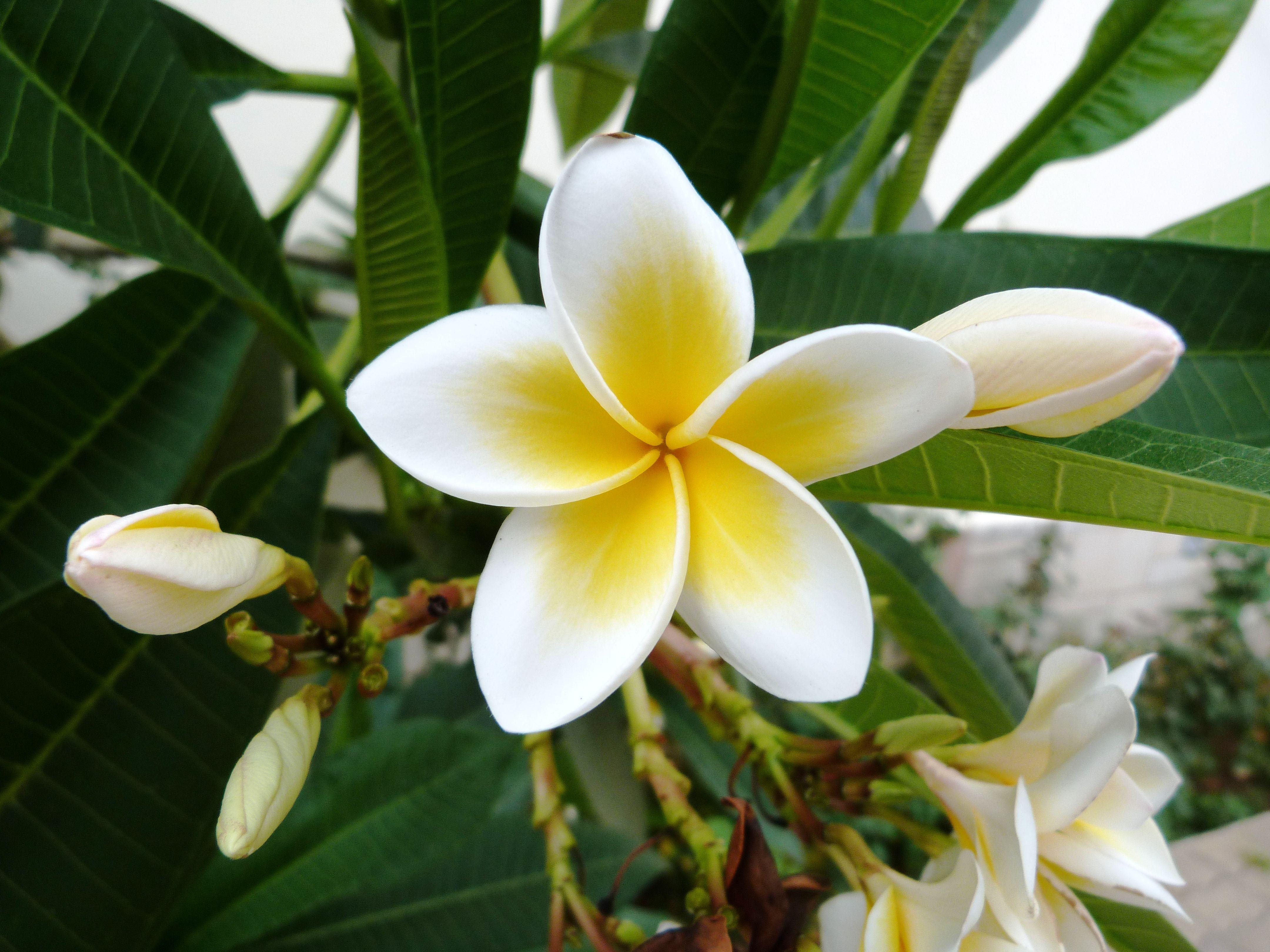 White egyptian jasminum flower on terras at anna b missiria white egyptian jasminum flower on terras at anna b missiria rethymno kreta izmirmasajfo Gallery