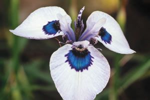 Stunning Peacock Iris