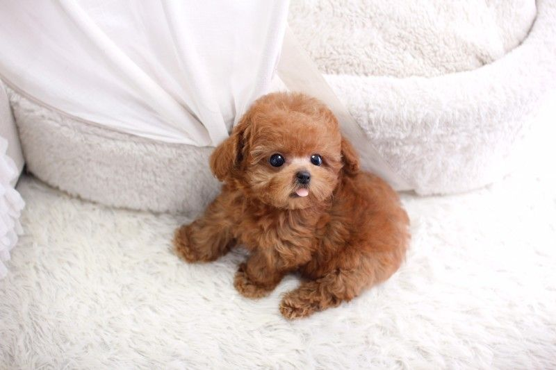 Sold Micro Teacup Poodle Female Itsy Puppy Teacup