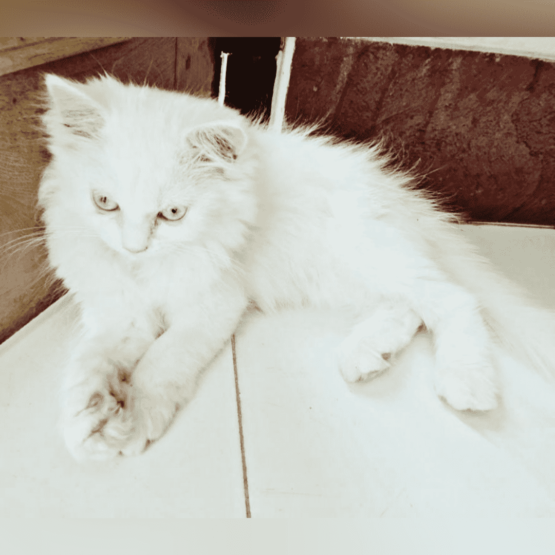 Siamese Kittens For Sale Price In India Mr N Mrs Pet In 2020 Siamese Kittens Cat Breeds Cat Breeds Siamese