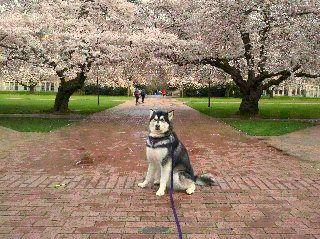 Cherry Blossoms Uw 3 Cherry Blossom Blossom Animals