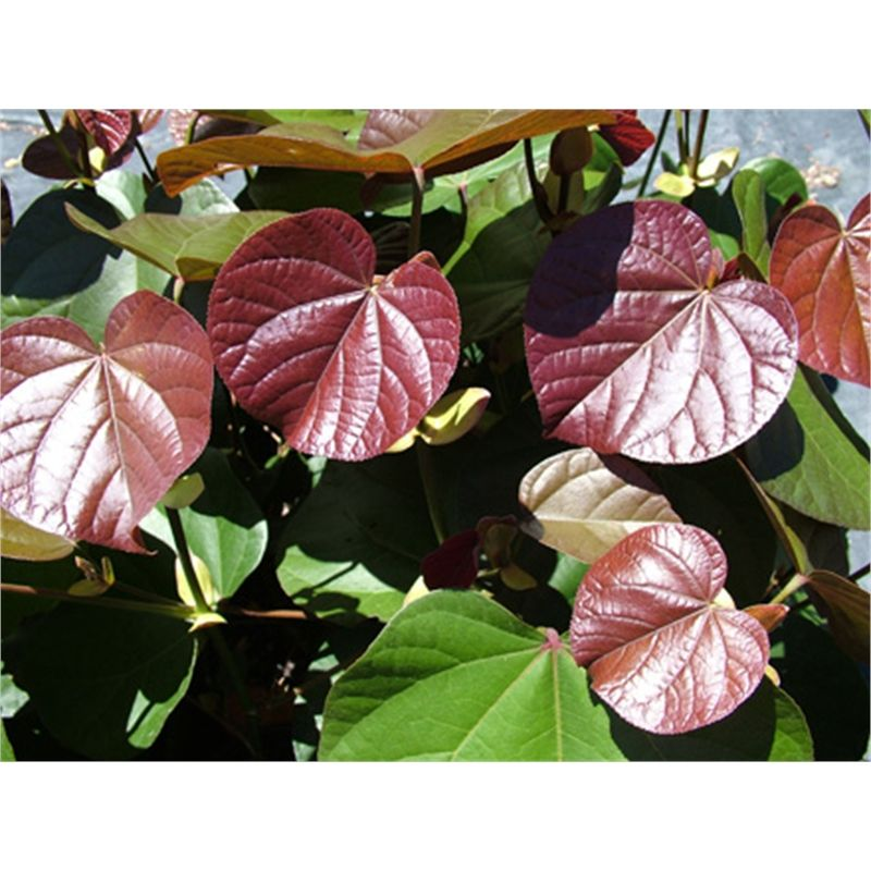 Find 400mm Hibiscus Tiliaceus Rubra Cottonwood Hibiscus At Bunnings Warehouse Visit Your Local Store For The Widest Ran Hibiscus Hibiscus Flowers Plant Leaves