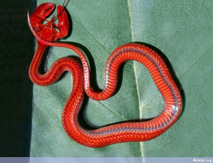 Lobster Snakes Are Not Edible Freaky Animaux Bizarres Animaux