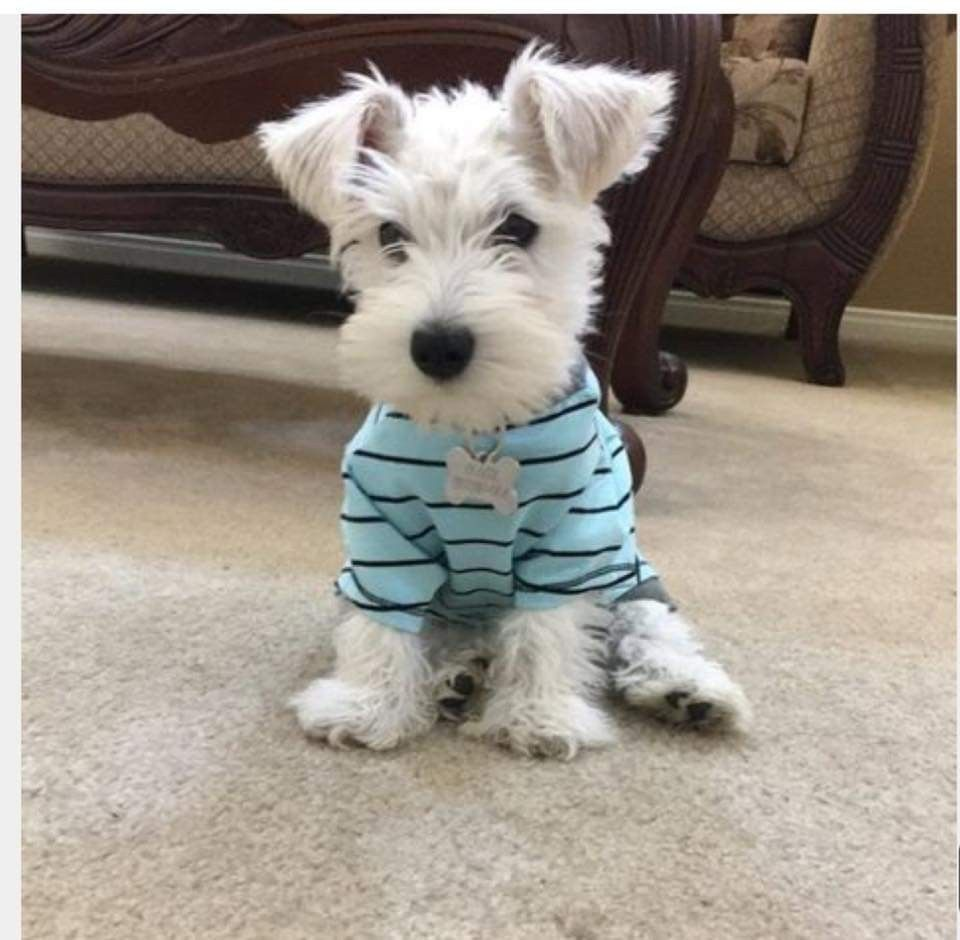 Pin By Lee Carver On Adorable White Miniature Schnauzers In 2020