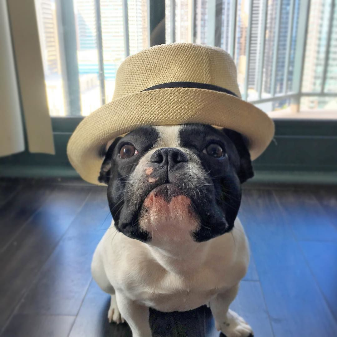 Reposting My Favorite Pic Of Me Wearing My Favorite Hat Dogwithstyle Dogwithhat Dogmodel Dogdressup Favoritepi Cute French Bulldog French Bulldog Bulldog