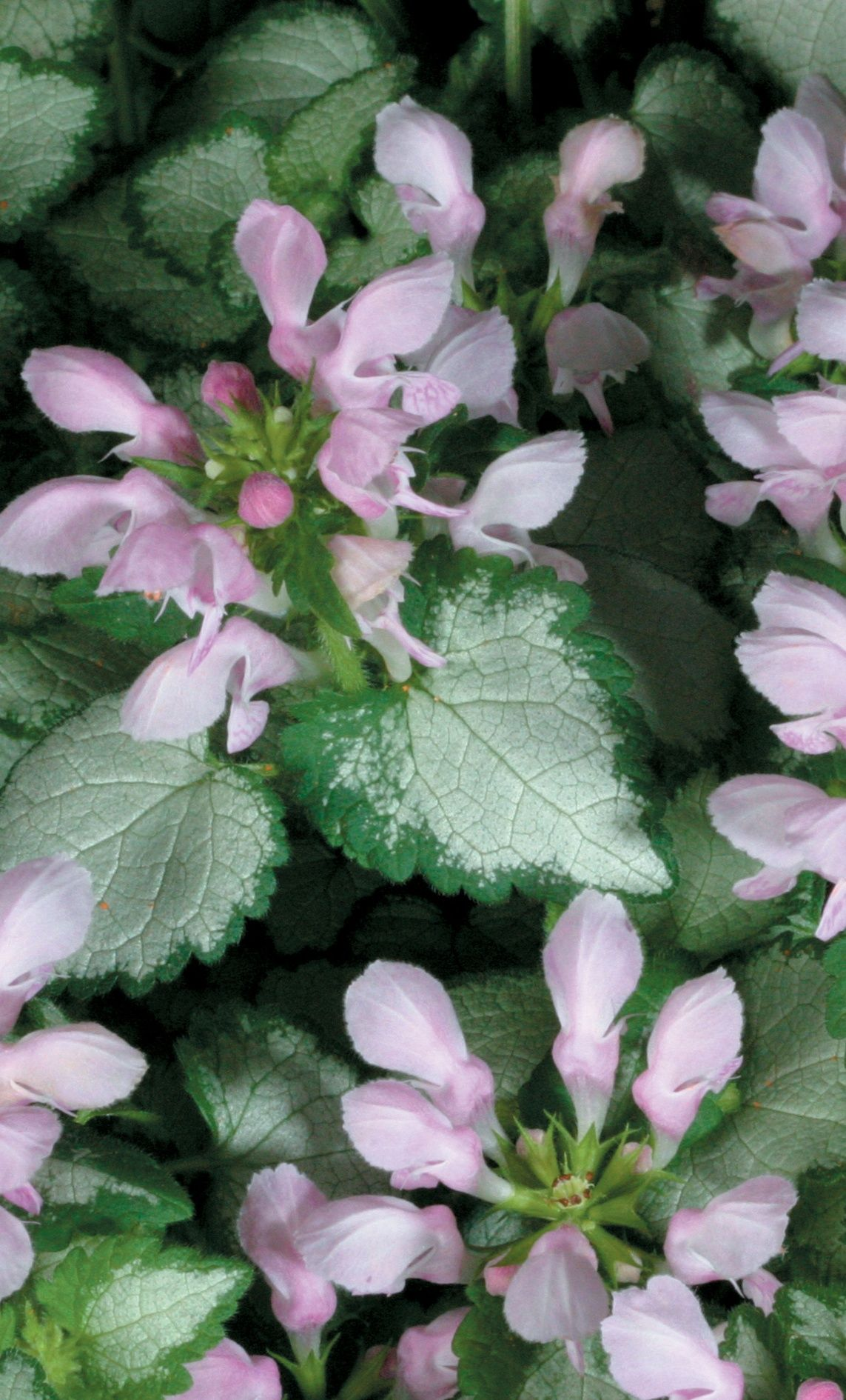 Pink Chablis Dead Nettle Lamium Maculatum Ground Covering