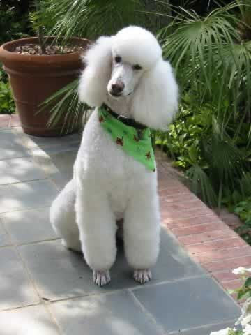 Poodle Dog Breed Information Poodle Puppies For Sale Poodle