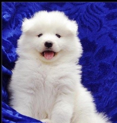 Simoid Dogs Samoyed Puppies For Sale For Sale Adoption In Singapore Adpost Com Samoyed Puppy Samoyed Puppies For Sale Samoyed