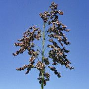 """Sorghum, San Felipe Pueblo:  """"Raised as """"sugar cane,"""" these stalks are chewed as a sweet treat. Dark black seeds, plants are up to 5' tall. Approx. 2g/75 seeds per packet."""""""