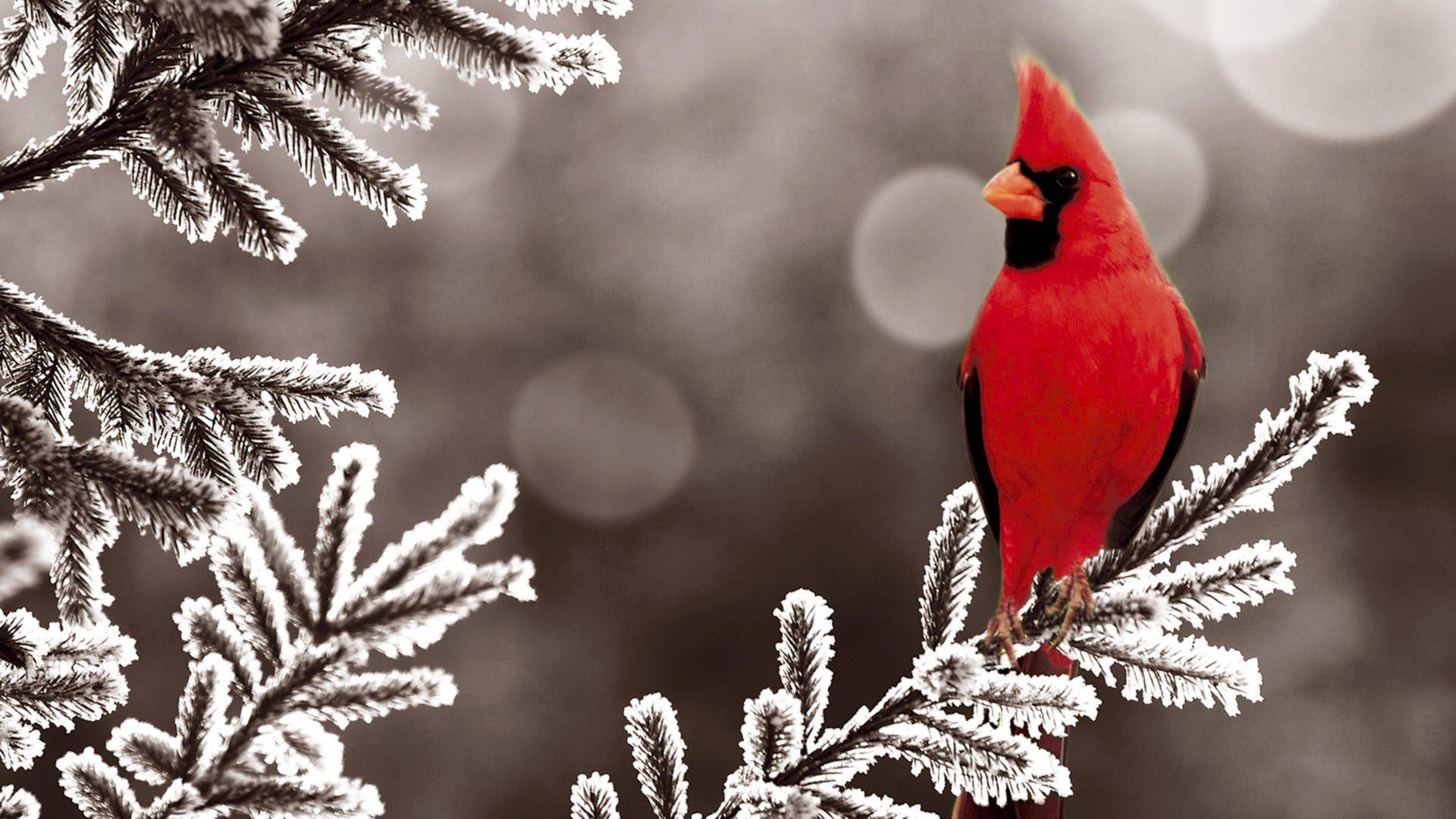 Winter Animal Wallpaper 1080p Animal Wallpaper Cardinal Birds Pet Birds
