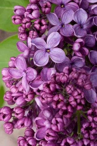 Yesterday Is History Lilac Flowers Beautiful Flowers Pretty Flowers