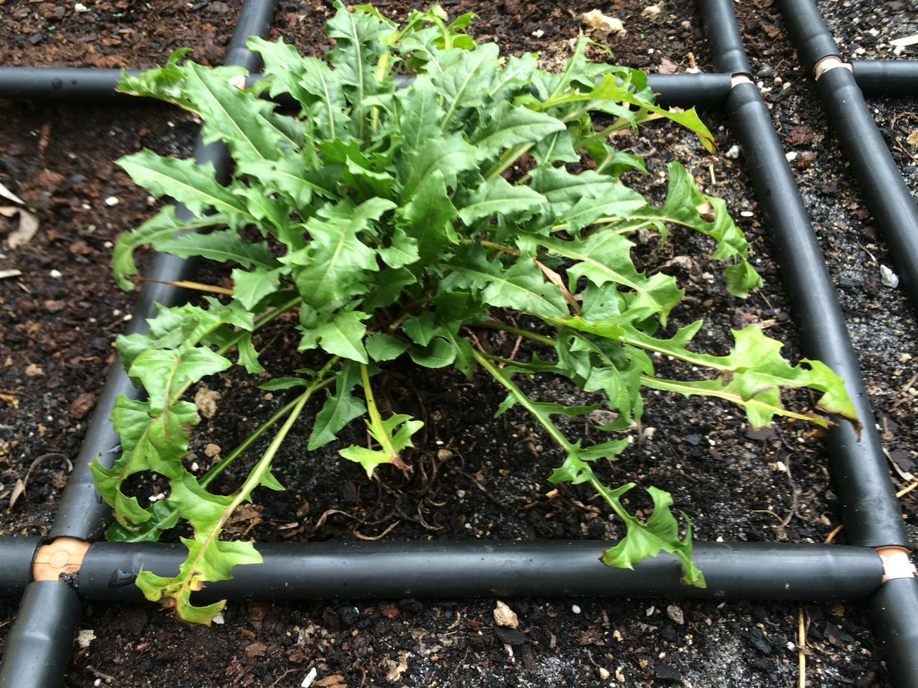 Growing Dandelion Greens In Your Garden Grid Dandelion Greens Are Not Only Edible They Re A Great Substitute For Garden Grid Garden Watering System Watering