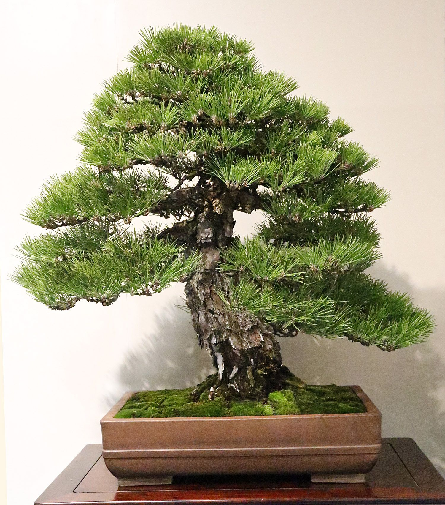 Japanese black pine pinus thunbergii verr ckt for Bonsai hydrokultur