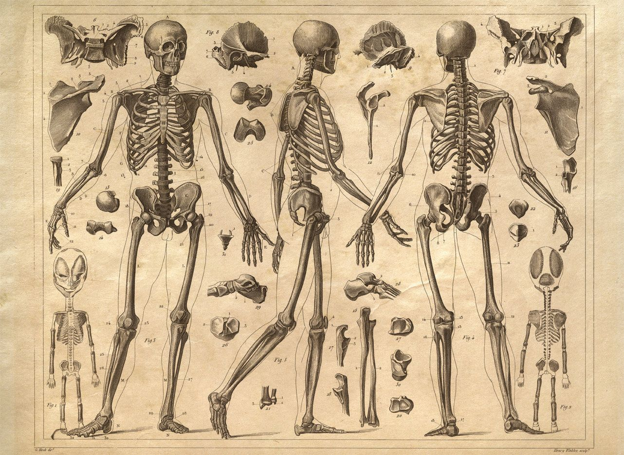 Vintage Anatomy Print Reproduction. Skeleton by curiousprints ...