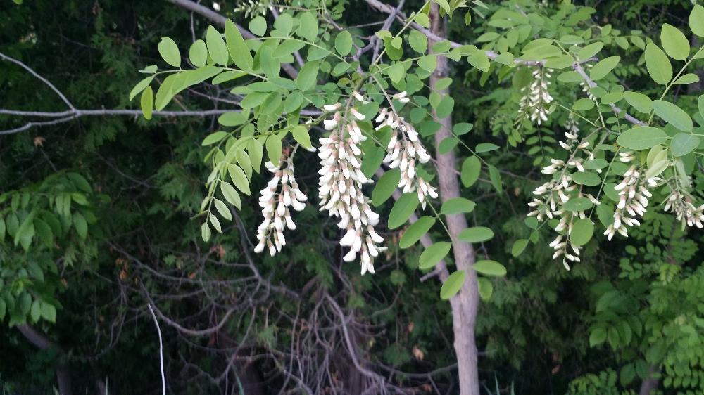Black Locust Robinia Pseudoacacia Trees To Plant Best Shade