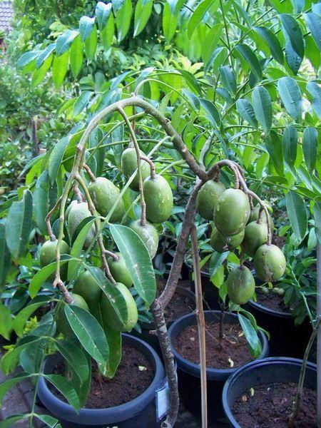 Fruit In Pot Ambarella Kedongdong Spondias Dulcis Fruit Garden Edible Landscaping Garden Layout Vegetable