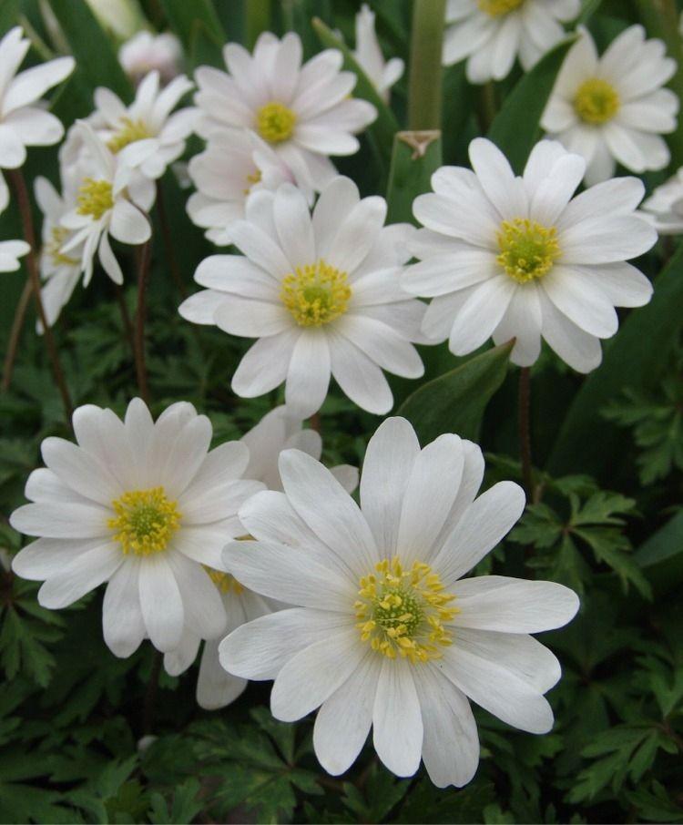 Anemone blanda White Splendour - Anemone blanda - Best of the Rest - Flower Bulbs Index 100/$24.50