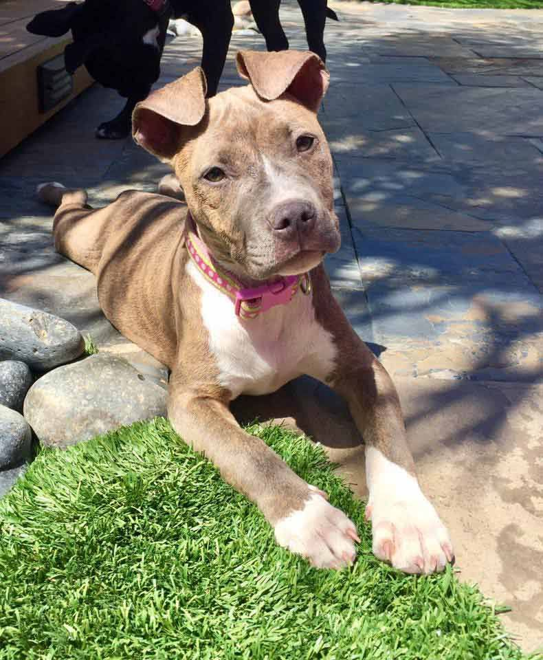 Carly The Brindle Terrier Mix Pitbull Terrier Puppies Staffordshire Terrier Brindle Cute Animals