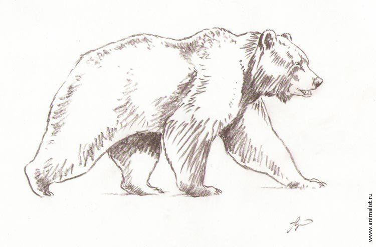 быстро рисунки медведя карандашом организаций, которые