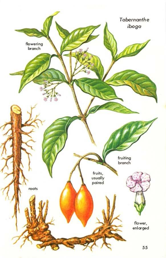 Via A Golden Guide To Hallucinogenic Plants By Richard Evans