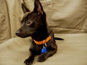Tyler Is An Adoptable Chihuahua Dog In Portland Or Cuddle Bug
