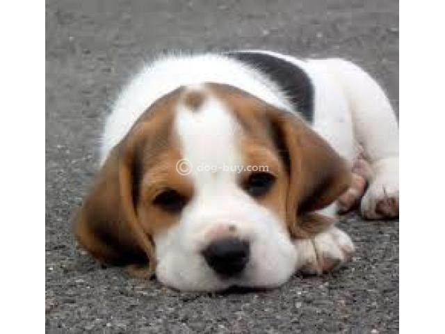 Our Latest Batch Of Newborn Beagles Including A Rare Colored Blue