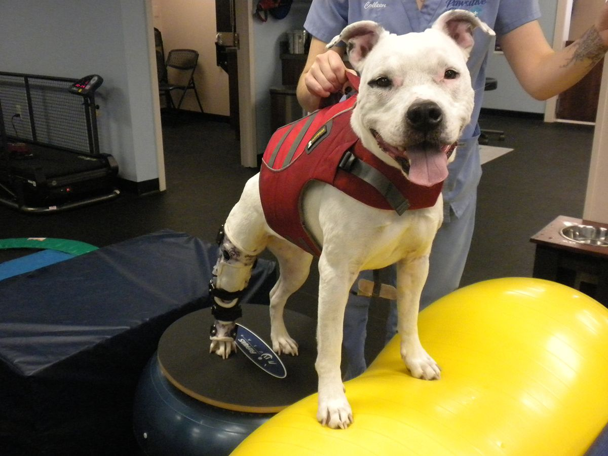 Pawsitive Steps in 2020 Rehabilitation therapy, Animal