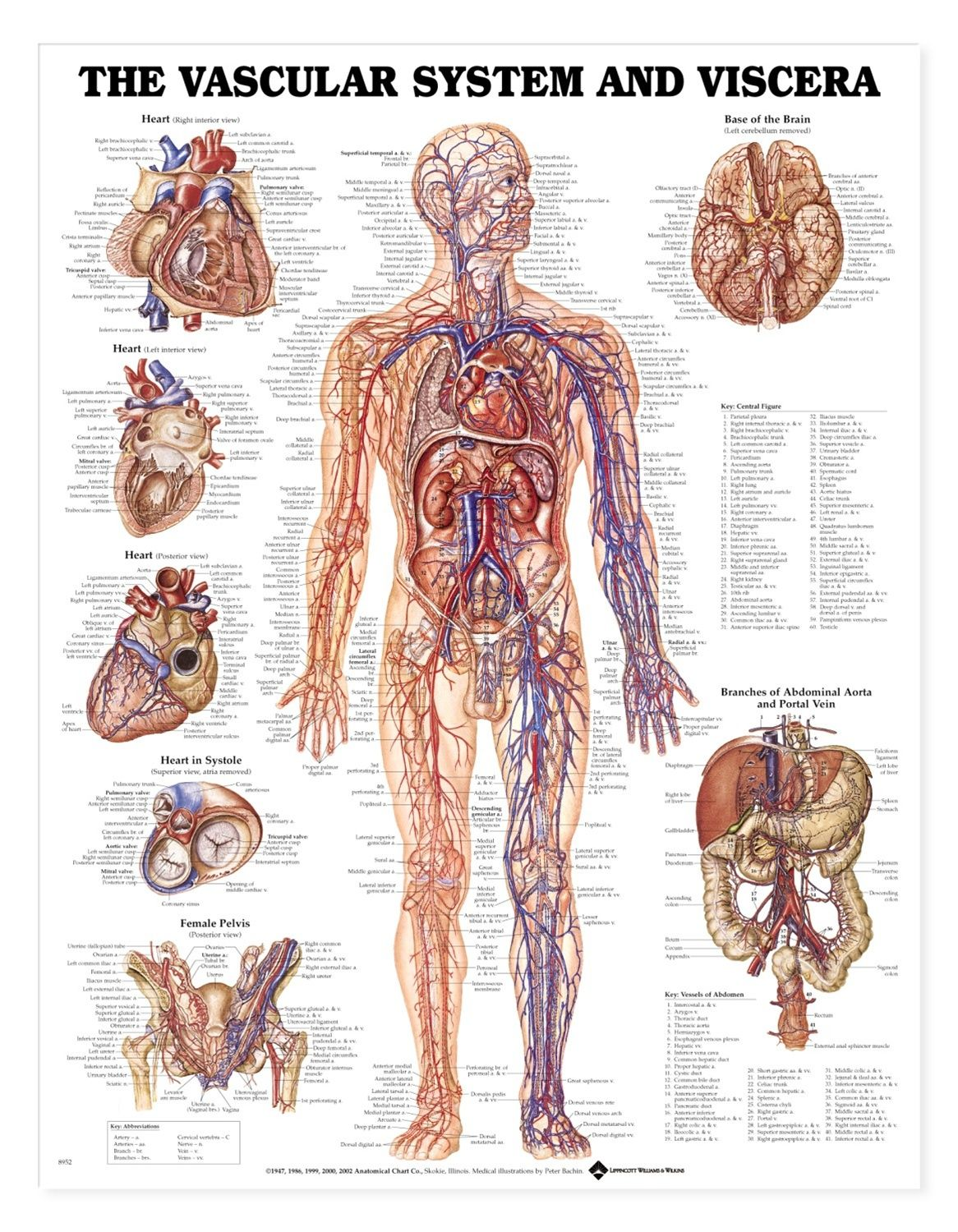 Vascular system and viscera poster styrene plastic chart and anatomy