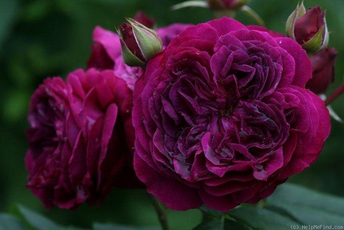 Rose Purple Lodge.
