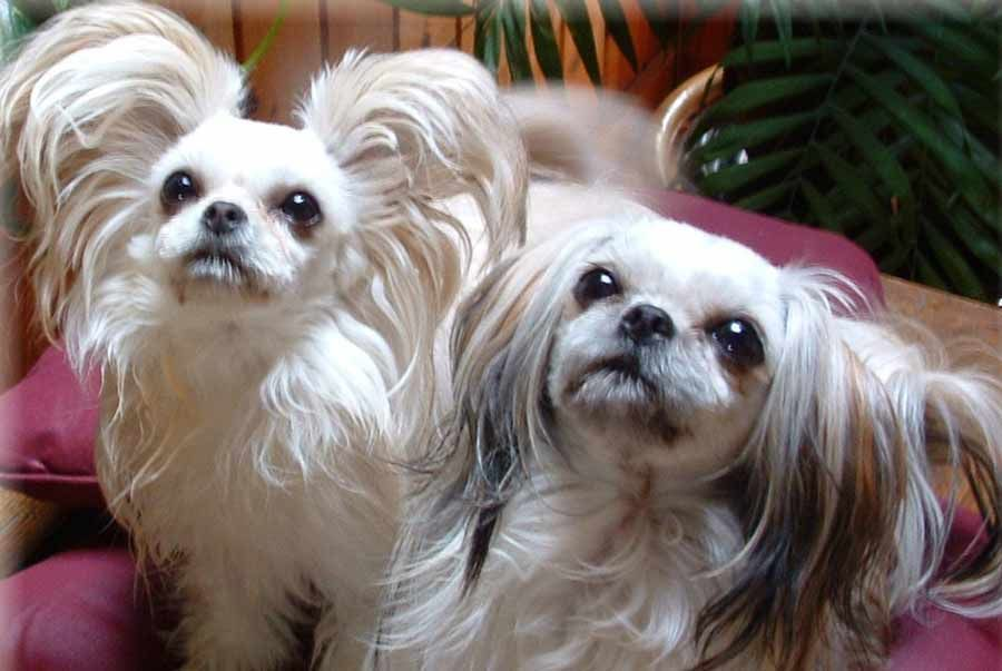 Mi Ki Information Pictures And Videos Dbs Miki Dog Dog Breeds Dogs