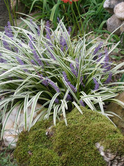 Liriope Muscari Easy To Grow And Spreads Good For Lining