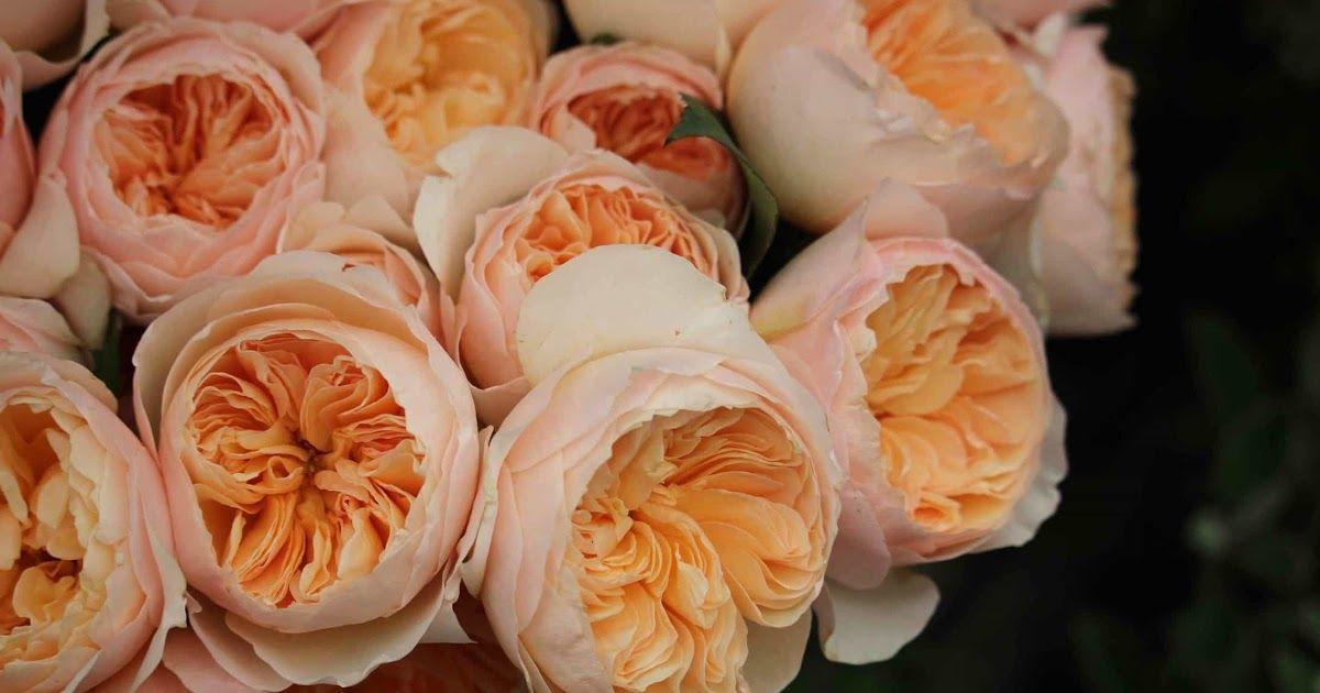 Paling Bagus 11 Gambar Bunga Mawar Langka Di 2020 Mawar Cantik