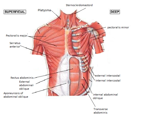 Abdominals And Chest Muscle Diagram Block And Schematic Diagrams