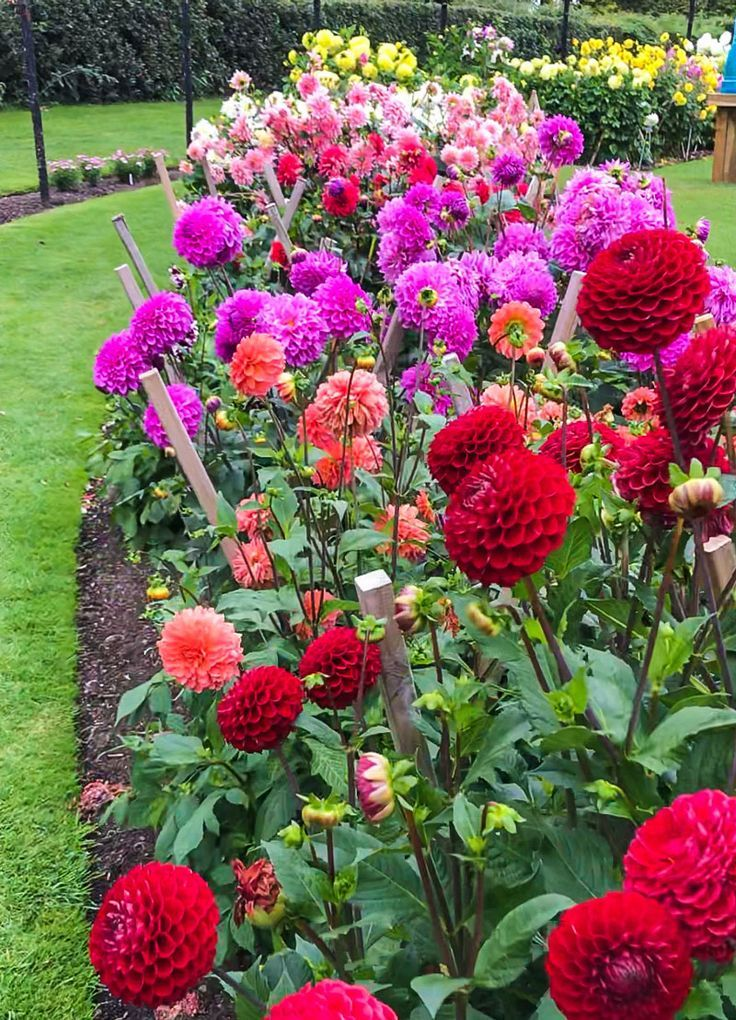 Irish Gardens and their Signature Details - Botanic Garden of Ireland - I had to take a picture of my favorite fall flower…dahlias, planted in a seemingly mile-long crescent. #botanicgarden
